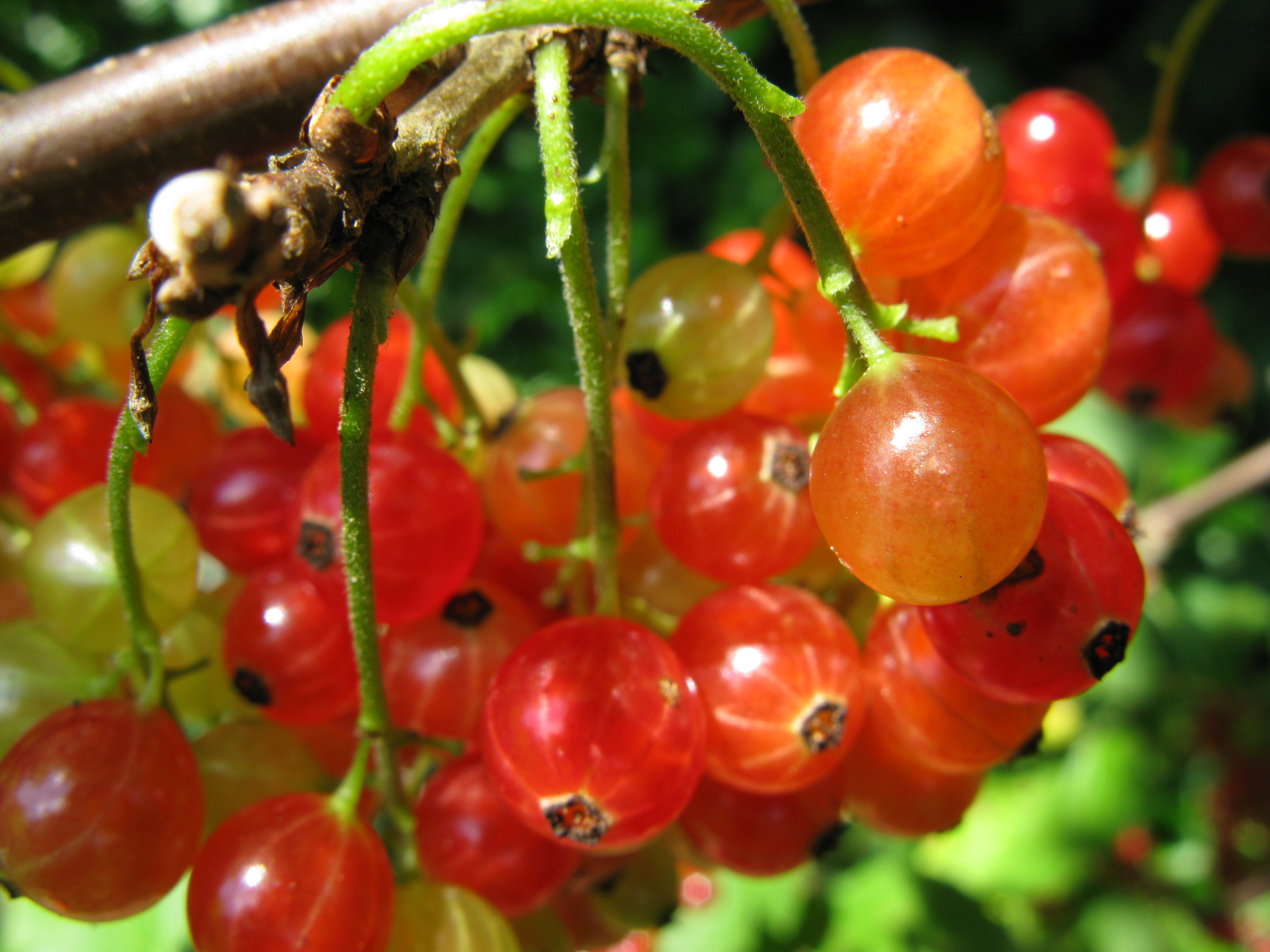 how to grow red currants in australia