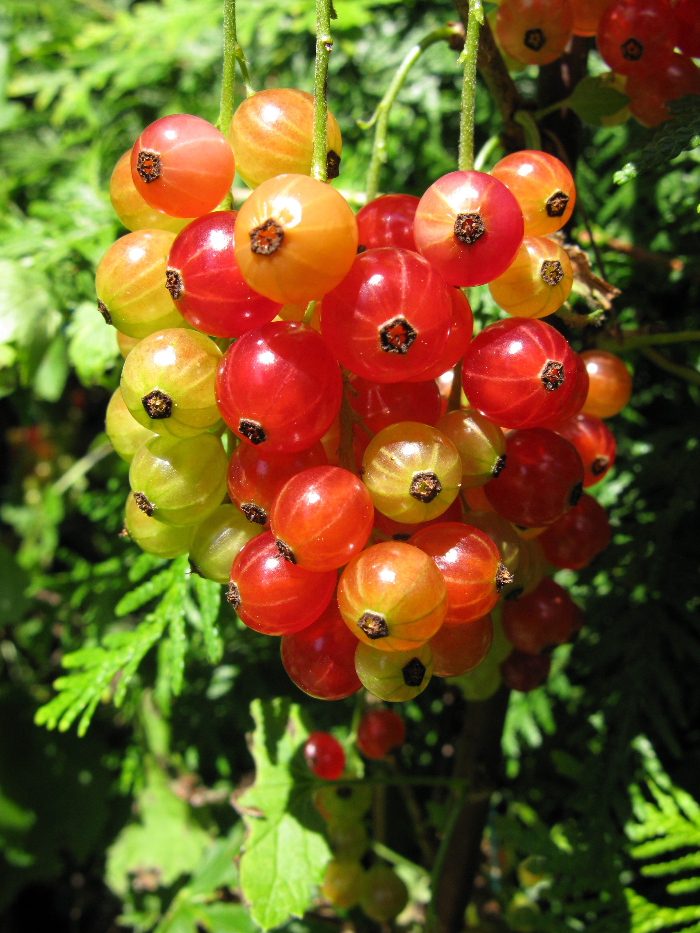 where to buy red currant berries