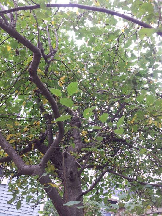 Gaby Apple Tree CU